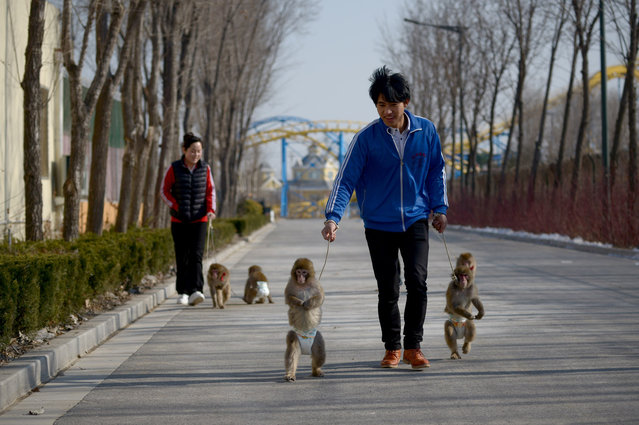 This picture taken on January 26, 2016 shows monkeys being led for a walk by their trainers at a monkey training school in a zoo in Dongying, eastern China's Shandong province. A dozen monkeys are being trained at the school as part of festivities for the upcoming Year of the Monkey which begins on February 8. (Photo by Wang Zhao/AFP Photo)