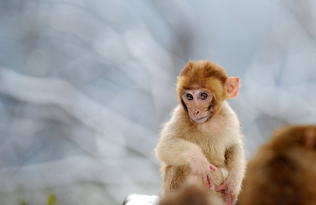 A young wild macaque monkey in the snow in a park on Qianling Mountain in China's central Guizhou province on January 3, 2019. (Photo by Yang Wenbin/Xinhua News Agency/Barcroft Images)