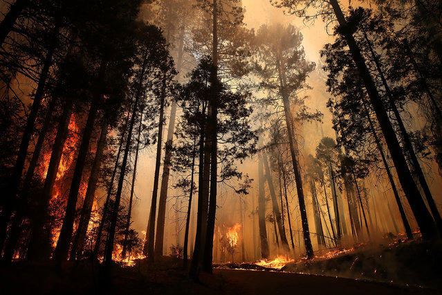 Flames from the Rim Fire consume trees on August 25, 2013 near Groveland, California. (Photo by Justin Sullivan/Getty Images)