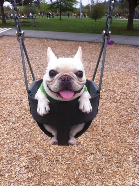 Sir Charles Barkley enjoys some play park time. (Photo by Caters News)