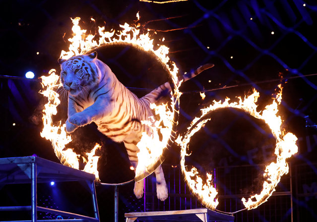 A tiger jumps through a ring of fire as the Zapashny brothers, winners of a Silver Clown award, perform at the gala of the 41st Monte-Carlo International Circus Festival in Monaco January 24, 2017. (Photo by Eric Gaillard/Reuters)