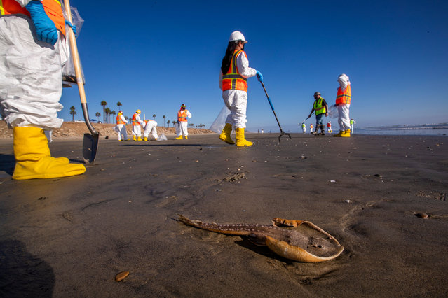 """One of two dead juvenile guitar fish lies on the beach, awaiting the arrival of biologists for inspection as environmental oil spill cleanup crews pick up chucks of oil left on the beach from a major oil spill at Huntington Dog Beach in Huntington Beach Tuesday, October 5, 2021. The biologists removed the guitar fish and took them back to a lab for further study to determine the cause of their death. Environmental cleanup crews are spreading out across Huntington Beach and Newport Beach to cleanup the damage from a major oil spill off the Orange County coast that left crude spoiling beaches, killing fish and birds and threatening local wetlands. The oil slick is believed to have originated from a pipeline leak, pouring 126,000 gallons into the coastal waters and seeping into the Talbert Marsh as lifeguards deployed floating barriers known as booms to try to stop further incursion, said Jennifer Carey, Huntington Beach city spokesperson. At sunrise Sunday, oil was on the sand in some parts of Huntington Beach with slicks visible in the ocean as well. """"We classify this as a major spill, and it is a high priority to us to mitigate any environmental concerns"""", Carey said. """"It's all hands on deck"""". (Photo by Allen J. Schaben/Los Angeles Times/Rex Features/Shutterstock)"""