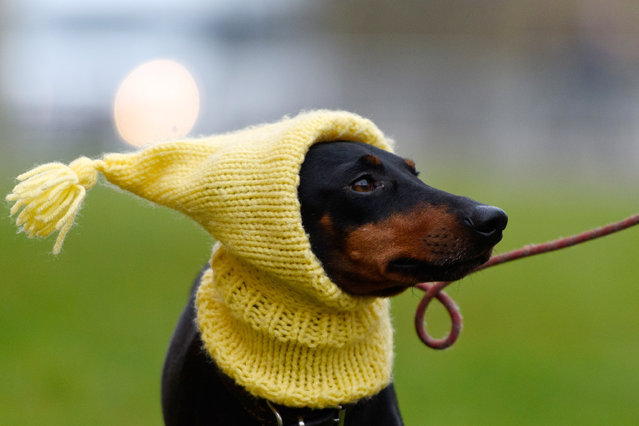 Mable the Manchester Terrier arrives with her owner on the first day of Crufts Dog Show on March 10, 2016 in Birmingham, England. First held in 1891, Crufts is said to be the largest show of its kind in the world, the annual four-day event, features thousands of dogs, with competitors travelling from countries across the globe to take part and vie for the coveted title of 'Best in Show'.  (Photo by Ben Pruchnie/Getty Images)