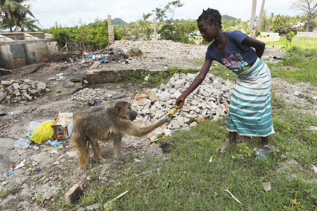A young girl gives a banana to a tamed baboon on the outskirts of Beira, Mozambique, Sunday, March, 31, 2019. Cholera cases among cyclone survivors in Mozambique have jumped to 271, authorities said. So far no cholera deaths have been confirmed. (Photo by Tsvangirayi Mukwazhi/AP Photo)