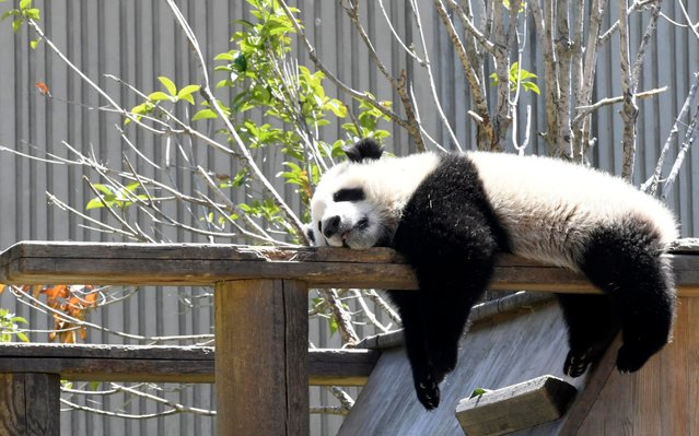 A giant panda cub enjoys the spring sunshine at the China Conservation and Research Center for the Giant Panda on April 6, 2019 in Chengdu, Sichuan Province of China. (Photo by An Yuan/China News Service/VCG via Getty Images)