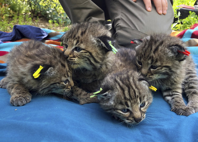 This Aptil 9, 2019 photo provided by the National Park Service shows four kittens born to a young bobcat captured, collared and released a day before a massive, deadly wildfire, in a large residential backyard in Thousand Oaks, Calif. Authorities at the Santa Monica Mountains National Recreation Area said Friday, April 19, 2019 that biologists recently found the bobcat's den in dense vegetation. (Photo by Ana Beatriz Cholo/National Park Service via AP Photo)