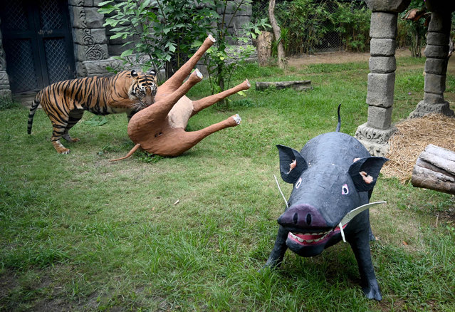 A Sumatran tiger climbs over a model of an antelope which was covered with meat by zookeepers inside its enclosure to mark International Tiger Day at Bali Zoo in Sukawati in Gianyar Regency on Indonesia's resort island of Bali on July 29, 2019. (Photo by Sonny Tumbelaka/AFP Photo)