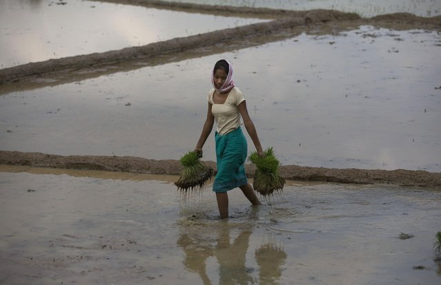 A woman carries saplings to be planted at a paddy field at Reba Maheswar village, 56 kilometers (35 miles) east of Gauhati, India, Friday, July 3, 2015. (Photo by Anupam Nath/AP Photo)