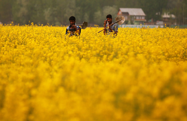 Kashmiri farmers walk through a mustard field on the outskirts of Srinagar April 19, 2017. (Photo by Danish Ismail/Reuters)