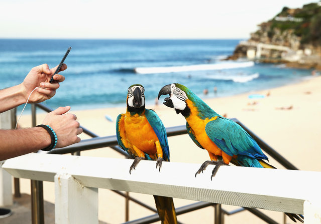 Tropical Blue-and-gold Macaws are seen at Bronte Beach on May 23, 2014 in Sydney, Australia. Sydney is experiencing it's hottest May on record, already recording it's hottest week for this time of year in over 150 years. (Photo by Ryan Pierse/Getty Images)
