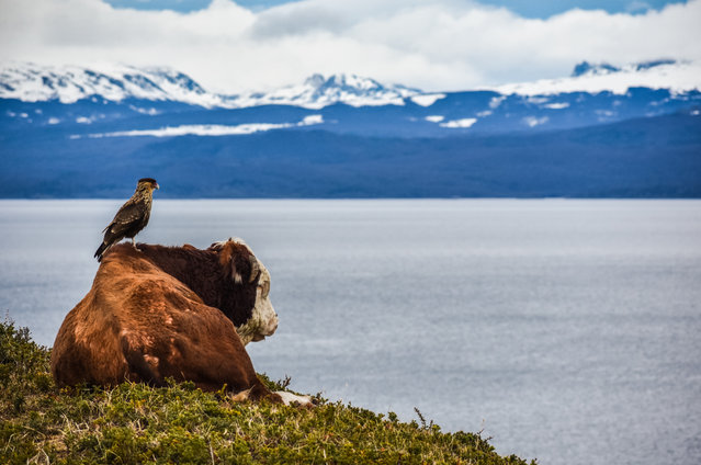 Dynamic Ecosystems category student winner: Are you seeing the same as me by Pablo Javier Merlo (Nacional University of Córdoba), taken from Beagle Channel, in Argentina. A cow and a chimango contemplate the breathtaking Beagle Channel in the southernmost mountains of the Andes. (Photo by Pablo Javier Merlo/2019 British Ecological Society Photography Competition)