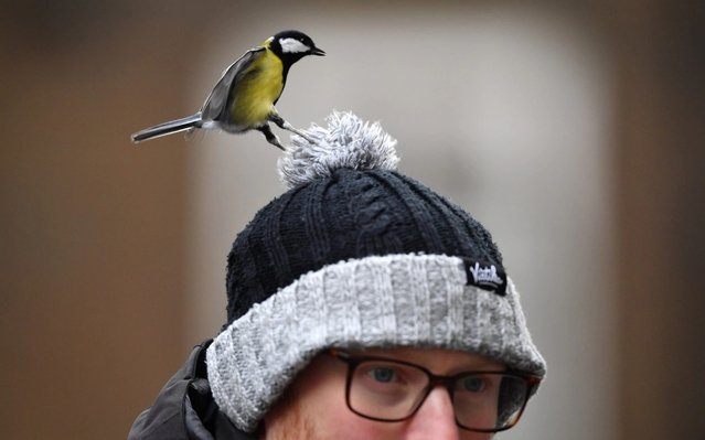 A great tit eats food from the top of a photographer's hat as the press wait for politicians on Downing Street on December 16, 2019 in London, England. The UK's Prime Minister is set to hold a mini Cabinet reshuffle to replace outgoing ministers following last week's general election victory. (Photo by Leon Neal/Getty Images)