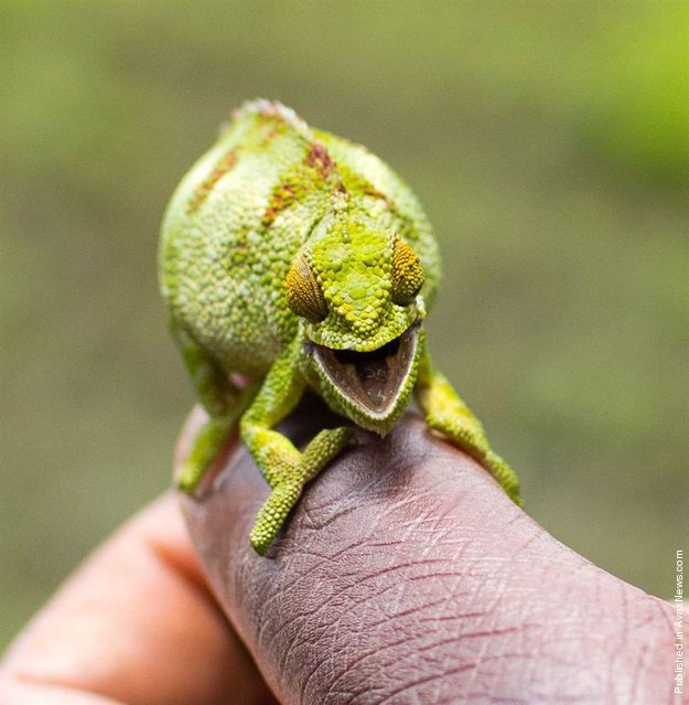"""""""This cheeky chameleon looks overjoyed to have his photo taken at Volcanoes National Park in Rwanda. Along with his happy grin he ensured he was an eye-catching green and yellow color for the picture. Obviously this little chameleon felt in the mood to be seen""""!"""