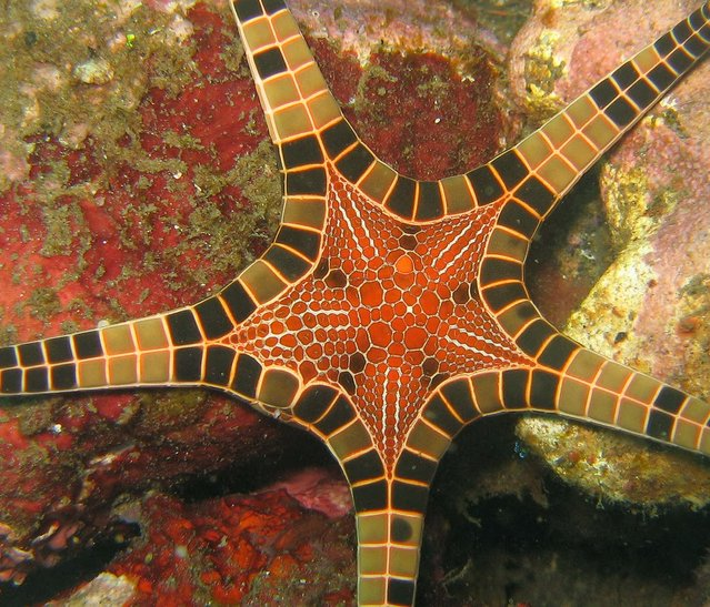 Conaster Iongimanus AKA The Icon Star Or Double Star