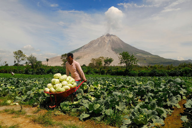 A farmer seen harvesting his crops while Mount Sinabung spewing out volcanic ash on July 4, 2017 in North Sumatera, Indonesia. The increased volume of lava dome that reaches one million eight hundred cubic meters, said volcanologist, through radio communications, do not dampen the activities of the people around sinabung, such as farming, harvesting their crops, picking up objects that are still left behind, or just take a picture while walking around near mount Sinabung. (Photo by Sabirin Manurung/Pacific Press/Barcroft Images)