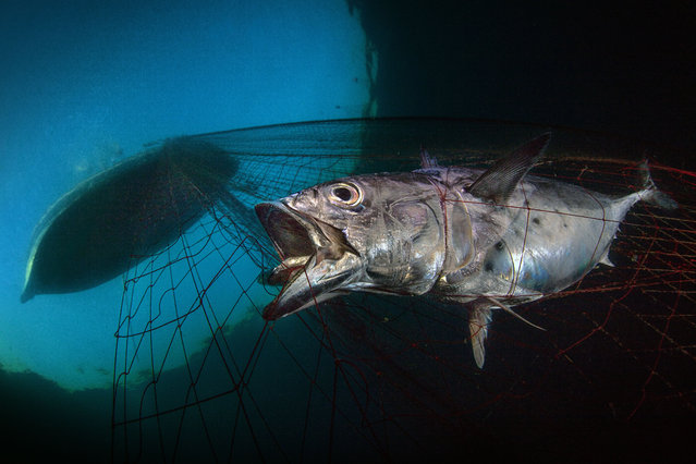 Marine conservation category winner: Last Dawn, Last Breath by Pasquale Vassallo (Italy) in Tyrrhenian Sea, Bacoli, Naples, Italy. As the fishermen quickly hauled on the nets, I tried to take some shots of trapped fish still suffering in the mesh, such as this tuna (Euthynnus alletteratus). (Photo by Pasquale Vassallo/Underwater Photographer of the Year 2020)