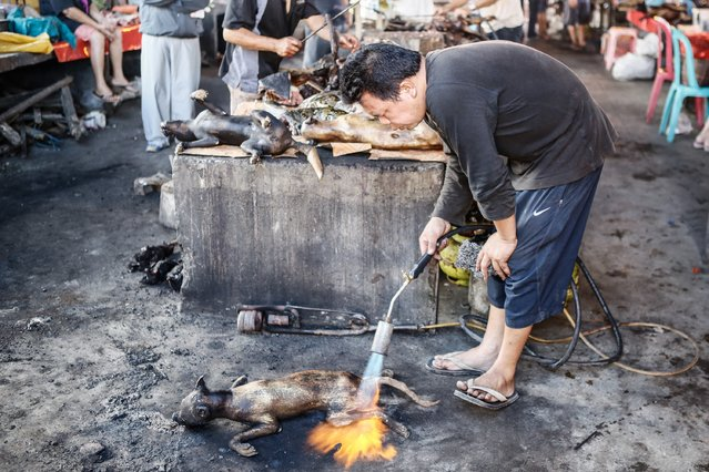 A man roasts dog at Langowan traditional market on August 9, 2014 in Langowan, North Sulawesi. The Langowan traditional market is famous for selling a variety of extreme food such as dogs, bats, rats, wild boar, and snakes. (Photo by Putu Sayoga/Getty Images)