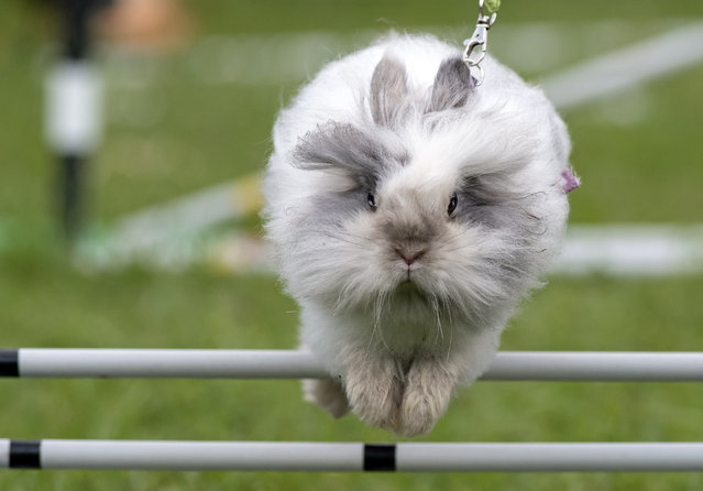 A rabbit jumps at the warm-up course during a regional Kaninhop (rabbit-jumping) competition in Weissenbrunn vorm Wald, Germany, Sunday, September 3, 2017. Competitors take part in four different categories, with an obstacle height ranging between 25 and 50 centimeters. (Photo by Jens Meyer/AP Photo)