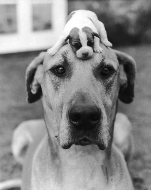 The best way to keep a puppy out of harm's way, circa 1950. (Photo by Express Newspapers/Hulton Archive)