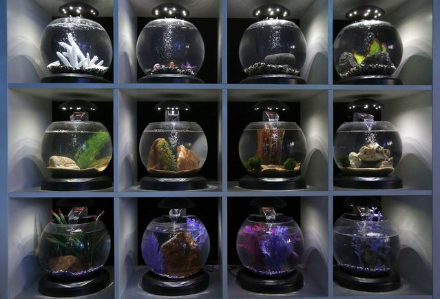 Fish tanks are displayed at a Tetra Tranquility shop in London, Britain September 8, 2016. (Photo by Neil Hall/Reuters)
