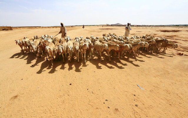 A shepherd leads sheep to the market in Abu Shock IDPs camp in Al Fashir, capital of North Darfur, Sudan, September 6, 2016. (Photo by Mohamed Nureldin Abdallah/Reuters)
