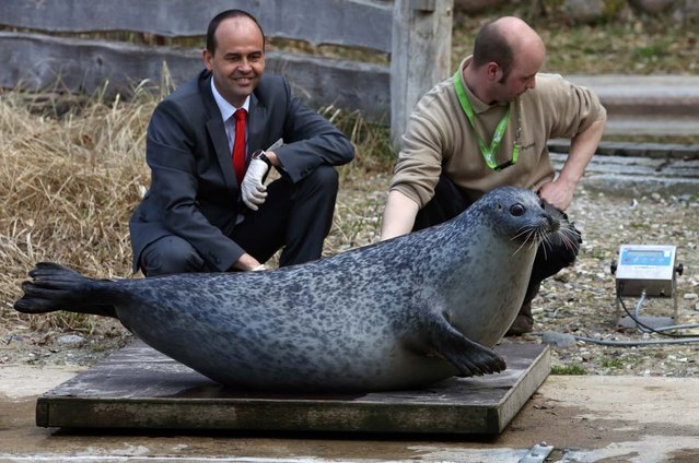 """Seal """"Susanne"""" sits on the scales as her keeper Lars Purbst (R) and Thomas Metzke from the sponsoring OstseeSparkasse bank look on, April 15, 2013 during a spring check at the Zoo in Rostock, northeastern Germany. """"Susanne"""" is weighing 104 kilos. (Photo by Bernd Wuestneck/AFP Photo)"""