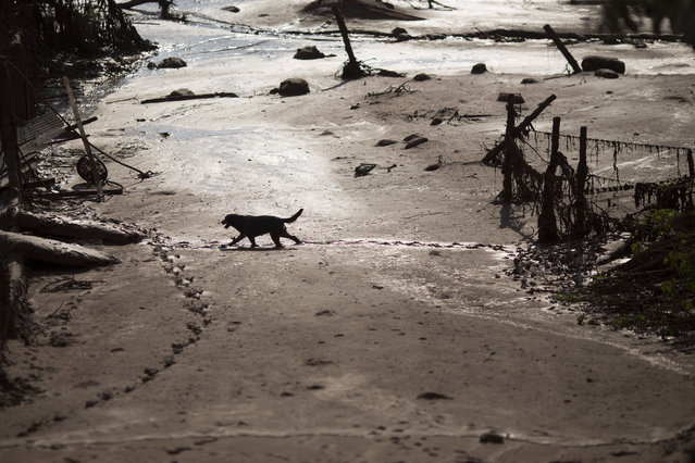 A dog walks in the mud at the small town of Bento Rodrigues on Friday, November 6, 2015, after a dam burst on Thursday in Minas Gerais state, Brazil.  Brazilian rescuers searched feverishly Friday for possible survivors after two dams burst at an iron ore mine in a southeastern mountainous area. (Photo by Felipe Dana/AP Photo)