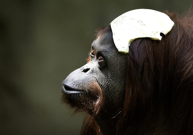 "Sandra, a 29-year-old orangutan, is pictured at Buenos Aires' zoo, on December 22, 2014. Sandra got cleared to leave a Buenos Aires zoo she has called home for 20 years, after a court ruled she was entitled to more desirable living conditions. Argentina's Association of Professional Lawyers for Animal Rights (AFADA) filed a ""habeas corpus"" writ – a form of legal redress against unlawful imprisonment – arguing she was ""suffering an unwarranted confinement"". (Photo by Juan Mabromata/AFP Photo)"