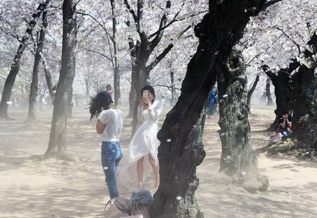 Blossoms and dust are blown by the wind as Jasmin Ricks, left, and her sister, Jessica Ricks, center, take in the cherry blossoms near the Tidal Basin in Washington on April 12, 2018. (Photo by Matt McClain/The Washington Post)