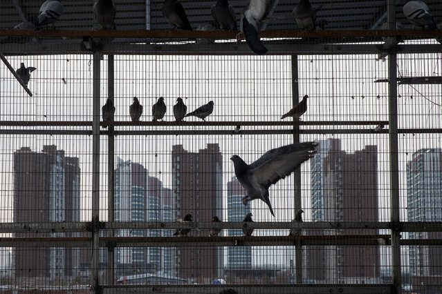 Racing pigeons sit in the loft of breeder Zhao Zhiqiang in Taiyuan, Shanxi province, China on December 2, 2020. (Photo by Thomas Peter/Reuters)