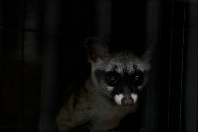 """An Asian palm civet is displayed inside a cage during a press conference at the Department of Wildlife and National Parks Peninsular Malaysia (PERHILITAN) headquarters in Kuala Lumpur, Malaysia, 08 June 2018. Authorities confiscated some 628 animals of various wildlife species, 20 units of wildlife parts and 30 wildlife eggs during raids on 28 May and 04 June 2018. """"385 animals and 30 eggs were seized earlier this month"""", PERHILITAN director general Abdul Kadir Abu Hashim said. (Photo by Fazry Ismail/EPA/EFE)"""