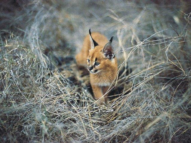 Сaracal - Desert Lynx