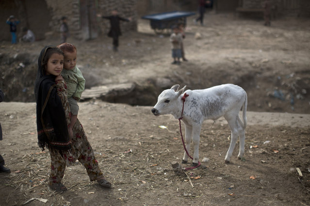An Afghan refugee girl shows her younger brother a calf in a slum on the outskirts of Islamabad, Pakistan, Friday, February 6, 2015. (Photo by Muhammed Muheisen/AP Photo)