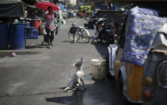 A dog barks as he is chained to a jeep after taking a bath along the road in a poor district of Manila, Philippines Tuesday, February 10, 2015. (Photo by Aaron Favila/AP Photo)