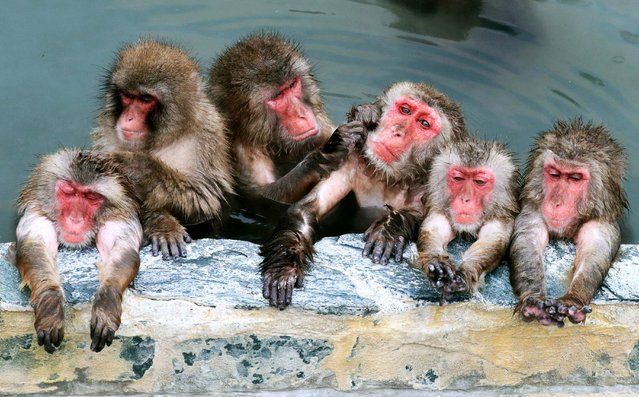 Japanese macaques are relaxed in an outdoor hot spring bath at Hakodate Tropical Botanical Garden on December 1, 2016 in Hakodate, Hokkaido, Japan. (Photo by The Asahi Shimbun via Getty Images)