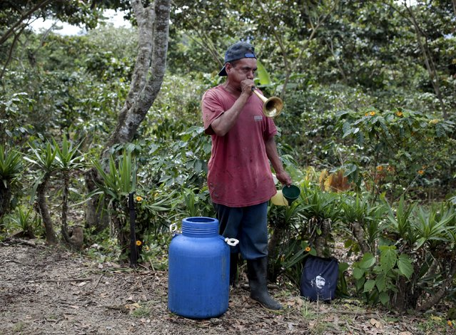 A worker plays a trumpet at the Nogales farm in Jinotega,Nicaragua January 7, 2016. (Photo by Oswaldo Rivas/Reuters)