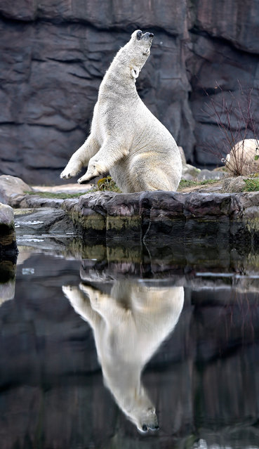 A polar bear enjoys the cold winter weather at the zoo in Gelsenkirchen, Germany, Wednesday, January 20, 2016. (Photo by Martin Meissner/AP Photo)