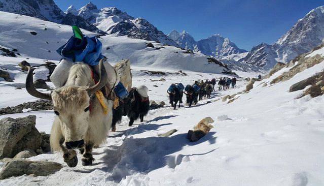 Yaks move towards Mount Everest's base camp ferrying supplies as the three-month climbing for the world's tallest mountain begins in March, near Gorakshep, Nepal, Saturday, March 21, 2015. (Photo by Tashi Sherpa/AP Photo)