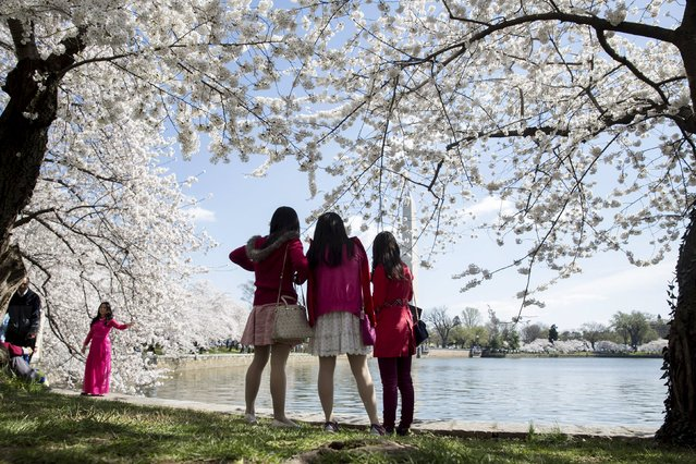 People look at blooming cherry blossom trees on the Tidal Basin in Washington April 11, 2015. (Photo by Joshua Roberts/Reuters)