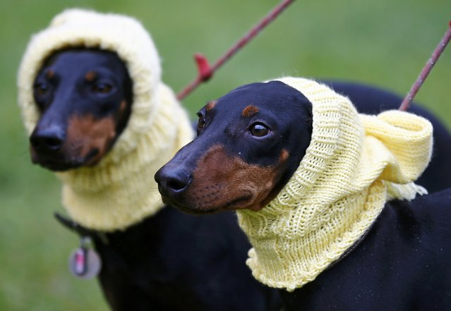 Manchester Terriers Betty and Mable arrive for the first day of the Crufts Dog Show in Birmingham, Britain March 10, 2016. (Photo by Darren Staples/Reuters)