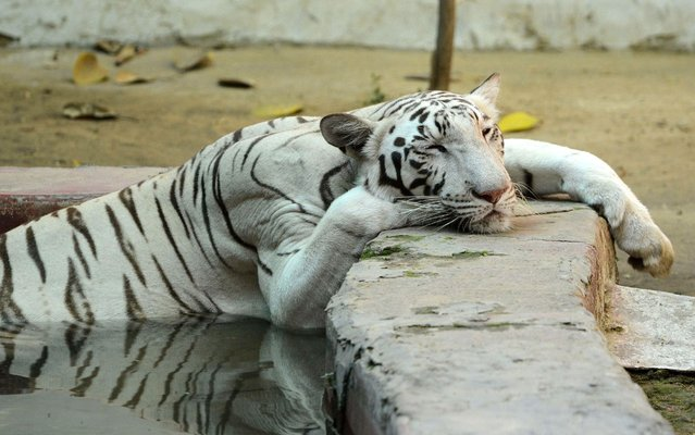 An Indian White tigress cools down in a pond in her enclosure to beat the heat, at the Kamla Nehru Zoological Garden, in Ahmedabad on April 11, 2019. (Photo by Sam Panthaky/AFP Photo)