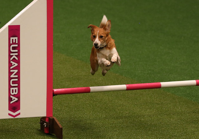 A small dog jumps over a fence in the Rescue Dog Agility show in the main arena on the first day of Crufts dog show at the NEC on March 6, 2014 in Birmingham, England. (Photo by Matt Cardy/Getty Images)