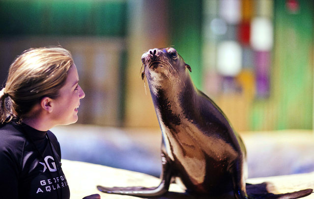 In this Monday, March 28, 2016 photo, trainer Catrina Bloomquist works with Scout, a rescued California sea lion, as part of a new exhibit opening at the Georgia Aquarium. (Photo by David Goldman/AP Photo)