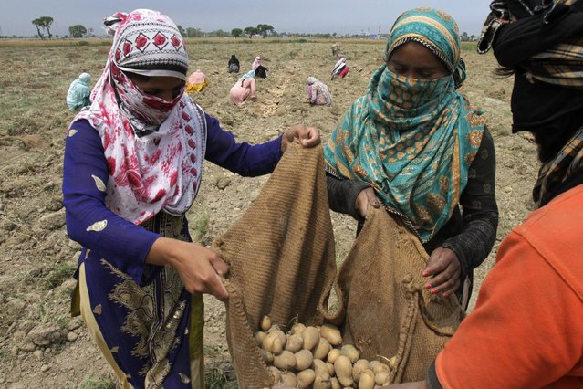 Pakistani female farmers collect potatoes in a field in Lahore, Pakistan, Thursday, April 16, 2015  Pakistani women play a major role in agricultural production and livestock raising. (Photo by K. M. Chaudary/AP Photo)