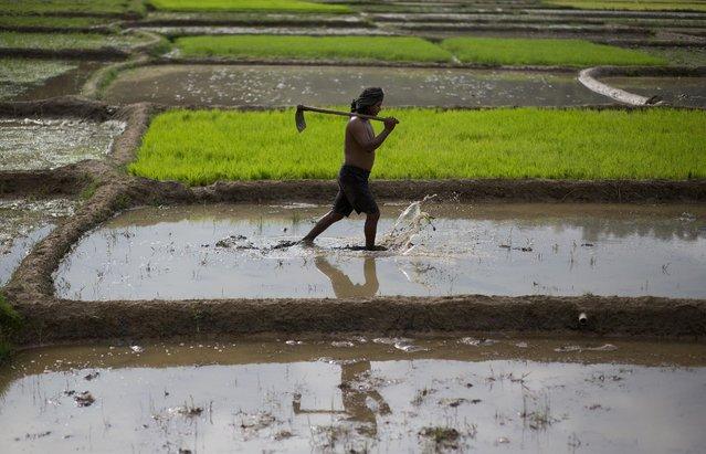 A farmer wades through water at a paddy field in Reba Maheswar village, 56 kilometers (35 miles) east of Gauhati, India, Friday, July 3, 2015. (Photo by Anupam Nath/AP Photo)