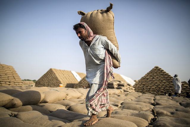 A Pakistani labourer carries a sack of wheat to build a pyramid of wheat sacks used to store wheat supplies near Multan in  South Punjab province May 12, 2014. (Photo by Zohra Bensemra/Reuters)