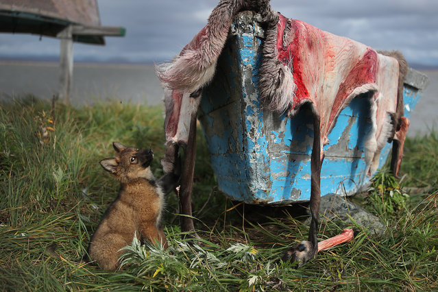A pelt from a caribou is left out to dry on September 11, 2019 in Kivalina, Alaska. The hunters in the village have seen the migration patterns of fish, caribou, seal and whale that they need for the long winter months change due to the warming weather. Kivalina is situated at the very end of an eight-mile barrier reef located between a lagoon and the Chukchi Sea. The village is 83 miles above the Arctic circle. Kivalina and a few other native coastal Alaskan villages face the warming of the Arctic, which has resulted in the loss of sea ice that buffers the islands shorelines from storm surges and coastal erosion. The residents of Kivalina are hoping to stay on their ancestral lands where they can preserve their culture, rather than dispersing due to their island being swallowed by the rising waters of the ocean.  City Administrator Colleen Swan says that the way of life in the village will change with the changing climate and they will adapt. In days gone by, they could migrate with the changes. But now, she says, with the magnitude of problem climate change brings, they must hope that the rest of the world reverses the trend, which she sees as being man-made, and save their way of life.  (Photo by Joe Raedle/Getty Images)