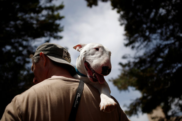 A man holds his Miniature Bull Terrier dog during an international dog exhibition in Kannot, central Israel May 21, 2016. (Photo by Amir Cohen/Reuters)