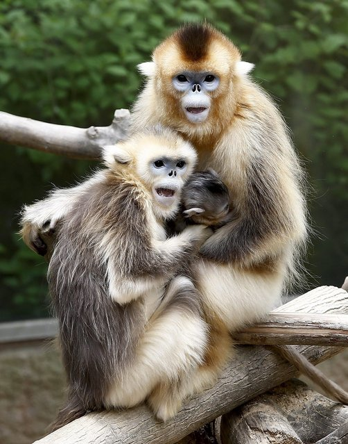 A young golden monkey (fifteen days old) rests in his mother's breast in South Korea's largest amusement park Everland in Youngin, Gyeonggi-province, South Korea, 20 May 2014. The golden monkey, admired for its golden fur, is one of the first-class national protected animals in China. (Photo by Jeon Heon-Kyun/EPA)