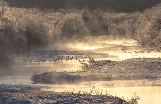 """""""Cold morning"""". Previously, the red-crowned crane there was a crisis of extinction. In the cold season, the birds will outperform the cold river in a warm than outside air. Photo location: Tsurui,Hokkaido,Japan. (Photo and caption by Mitsuhiko Kamada/National Geographic Photo Contest)"""